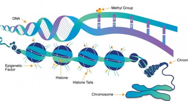 Epigenetics – the study of heritable changes in gene expression Quiz