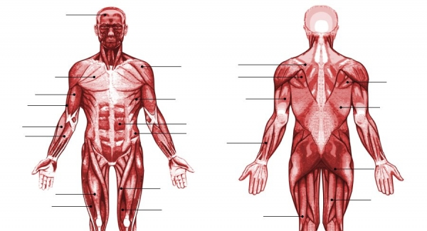 List of skeletal muscles of the human body