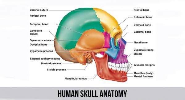 Human Anatomy/Osteology/Skull Quiz