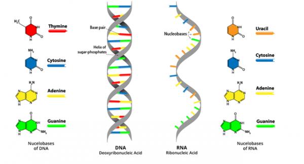 DNA or deoxyribonucleic acid-part II Quiz Test