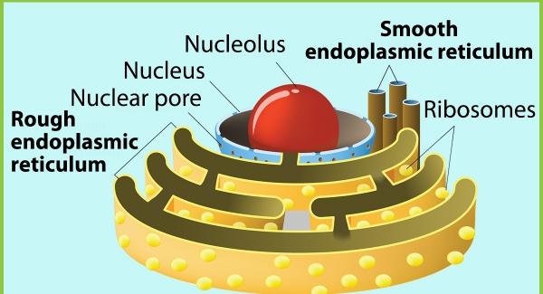 Endoplasmic reticulum Quiz Biology